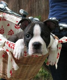 Another Boston Terrier arriving for watch dog duty on a bike.