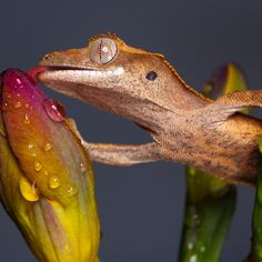~~ Drinking Crested gecko ~~