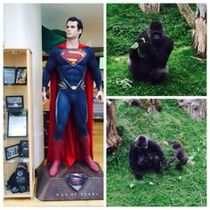 We checked in with #HenryCavill's @durrellwildlife family today! - Much more on our visit to the park soon. Meantime cavillconservation.com #Charity #Superman #Stratton #ManofSteel #BatmanvSuperman #JusticeLeague #JerseyCI