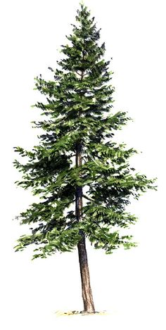 eastern hemlock (Tsuga Canadensis). 40-60ft tall. Wet soils in cool moist locations. Super shade tolerant. Somewhat absent species in our yellow birch, red oak, sugar maple, white pine association. Important to wildlife. Tannin can be taken for leatherwork.