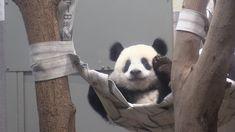 シャンシャン、元気に成長=12日に1歳-上野動物園 - YouTube