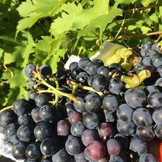 Egna druvor Fruit