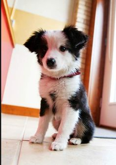 Border collie puppy -- Someday, I'm going to have at least one of these cuties.