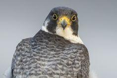 Peregrine Falcon  - Staredown by Tim Boyer on 500px