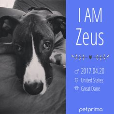 Meet Zeus, He is a loving Great Dane ❤️ We Offer Affordable Pet Products and Feature our furry friends from all over the world.