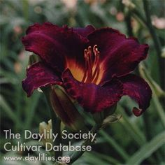 Daylily Midnight Magic