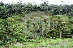 Rice fields in Bali stock image. Image of indonesia, green - 31730005 Ubud, Fields, Bali, Vineyard, Royalty Free Stock Photos, Rice, Green, Nature, Image
