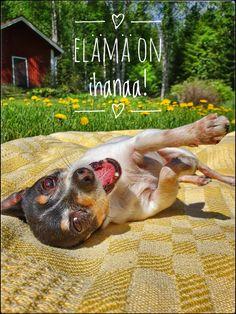 #summer #happy dog #photography #valokuvaus #kesä #relax #enjoy #kesäloma #poster #card #American toy fox terrier Studio, Studios