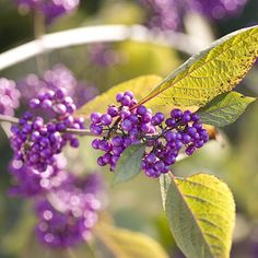 add a beautyberry or two. This shrub produces small clusters of amethyst-purple fruits in fall.
