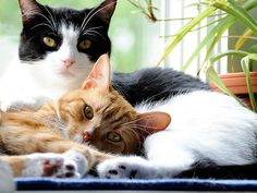 Some cats require more grooming than others. Learn about brushing your cat's hair, removing mats, bathing your cat, clipping your cat's nails, and cleaning your cat's ears.