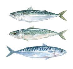 Mackerel watercolors