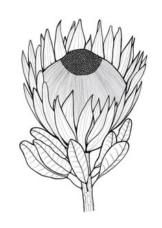 Tropical Flower Drawing One Color Tropical Flower Drawing One Color. Tropical Flower Drawing One Color. Tropical Flower Sketch at Paintingvalley in tropical flower drawing Glorious Protea Flowers to Color Protea Art, Flor Protea, Protea Flower, Art Floral, Botanical Illustration, Botanical Art, Flower Sketches, Flower Drawings, Australian Native Flowers