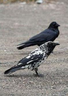 Piebald Raven