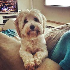 Isn't my baby Bella the cutest? So grateful for this little girl & all her snuggles! . . . #bella #maltese #furmom #furbaby #dog #puppy #snuggles #cuddles #dogmama #brittanywatkins #playadelcarmen #babygirl #furmommy #bellababy #dogs #dogfamily #mydogismykid