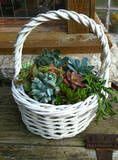 Basket O Succulents!