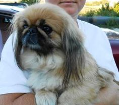 Kahlua is an adoptable Pekingese Dog in Owatonna, MN. Kahlua is a 12 pound, 3 year old, sable female Pekingese, presently living in a foster home in Waseca MN. Kahlua is a beautiful and healthy girl, ...