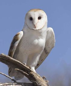 Barn owls are so cool