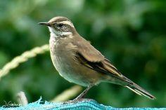 Aves de Bariloche: Remolinera comun