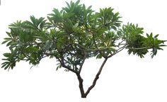 20 Free Tree PNG Images - plumeria01L - Dzzyn