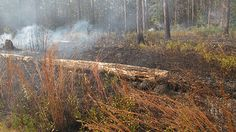 Prescribed fire in the north savannah of The Crosby Arboretum fall 2012