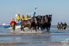 Tijdens de demonstratie van de paardenreddingboot op Ameland trekken 10 stoere paarden de reddingboot met donderend geweld over het strand en door de branding in zee. De demonstratie van de paardenreddingboot is een gebeurtenis die herinnert aan vroegere tijden, want als er echt een schip in nood is vaart tegenwoordig de moderne Anna Margaretha met hoge snelheid de haven van Ameland uit. Paul Theroux, Draft Horses, Belgium, Netherlands, Holland, Camel, Surfing, History, Islands