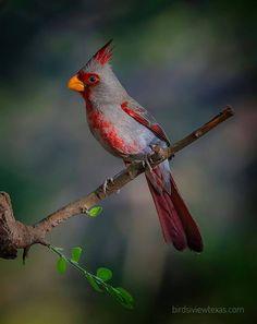 Pyrrhuloxia or Desert Cardinal. by Randall Patterson