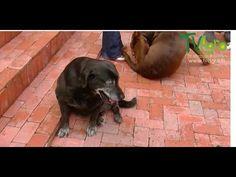 Síntomas de la displacía de cadera en perros Labradores TvAgro por Juan ...
