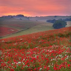 Dorset poppy field sunset