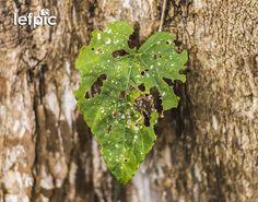 • Controle de Pragas - Em diversos tipos de plantas é comum notarmos a presença de larvas que se alimentam de suas folhas, deixando-as com algumas marcas, que por sua vez, prejudicam seu crescimento. No combate destas pragas, podemos usar agrotóxicos que impedem que estes animais destruam a lavoura. 📷 by Leandro Floriano  Download da imagem no #iStock: https://istockphoto.com/br/foto/flor-verde-em-uma-árvore-gm596797518-102291303  #plant #flower #leaf #garden #forest #jungle #tree