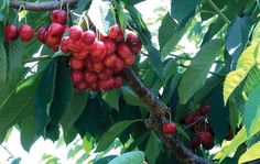 Research over the past two years shows irrigation can be reduced prior to harvest without harming sweet cherry fruit yield or quality for some varieties, including Lapins.