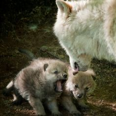 Arctic Wolf With Pups  byWolvesOnly
