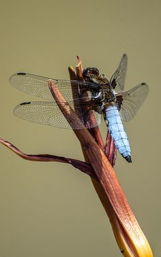 Broad-bodied Chaser Dragonfly (Libellula depressa) Europe and Asia Cool Insects, Bugs And Insects, Beautiful Bugs, Beautiful Butterflies, Tardigrade, Cool Bugs, Macro And Micro, Dragonfly Art, Amphibians