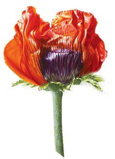 Denise Ramsay | American Society of Botanical Artists