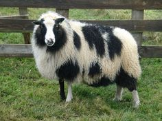 The Reykjavik Grapevine - News from Iceland / Polka-Dotted Sheep Discovered on Local Farm