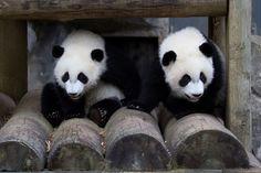 I love Pandas Atlanta Zoo, Panda Party, Panda Love, Twin Girls, Lemur, Mammals, Reptiles, Sloth, Cubs