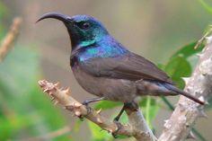 Loten's Sunbird (Thekkady, India) | Raxa Collective, Bird of the Day