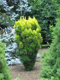 Japanese Plum Yew 'Korean Gold' | Cephalotaxus harringtonia 'Korean Gold' or 'Ogon' | full to partial shade| moist well-drained soil but will tolerate drought when established | zones(5)6-9 | deer resistant | new foliage yellow turns green as it ages | columnar form