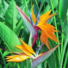 Birds of paradise. Beautiful.