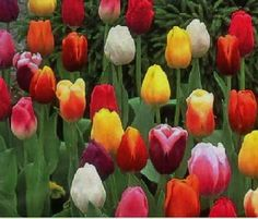 Favorite Flower!! Make Me Smile, Tulips, Flora, Bulb, Rose, Plants, How To Make, Pink, Onions