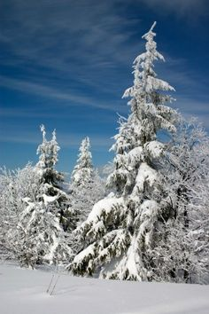 Elegant pine tree in winter.