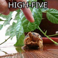 Star tortoise high-five high five highfive