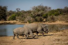 """Rhino – The word """"rhinoceros"""" is of Greek origin; """"rhino"""" meaning """"nose"""", and """"ceros"""" meaning """"horn"""". At the beginning of the 20th century there were 500,000 rhinos across Africa and Asia. This fell to 70,000 by 1970 and further to just 29,000 in the wild today. #JustOneRhino"""