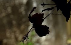 Sombra ou hibiscos