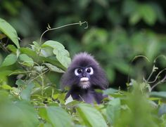A spectacled leaf monkey peeping out of the leaves.    (Photo: Triggs Turner)
