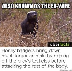 Don't fuck with a honey badger!