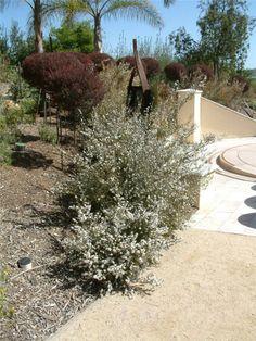 New Zealand Tea Tree (leptospermum scoparium) Garden Trees, Plants, Garden, Tree, Tea Tree, Hedges, Native Garden, Small Trees, Garden Plants