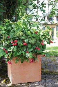 Raspberry Shortcake Top 100 Best New Home Products For 2013. It is a dwarf, thornless raspberry variety from the BrazelBerries collection