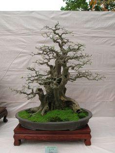 barren bonsai