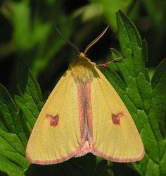 Přástevník chrastavcový Garden Angels, Butterflies, Pictures, Butterfly, Bowties, Papillons