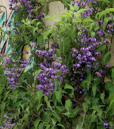 Solanum sp. 'Navidad, Jalisco' fast growing vine for sun to part sun - maybe for pitt line?